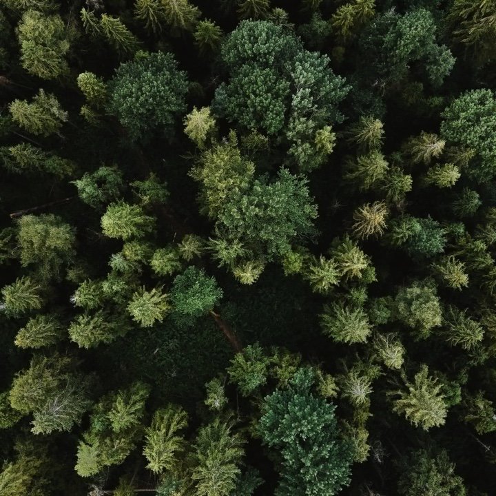 Pine trees viewed from above.